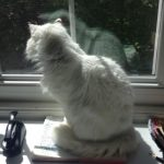 Profile picture of cherryblossom.the.cat