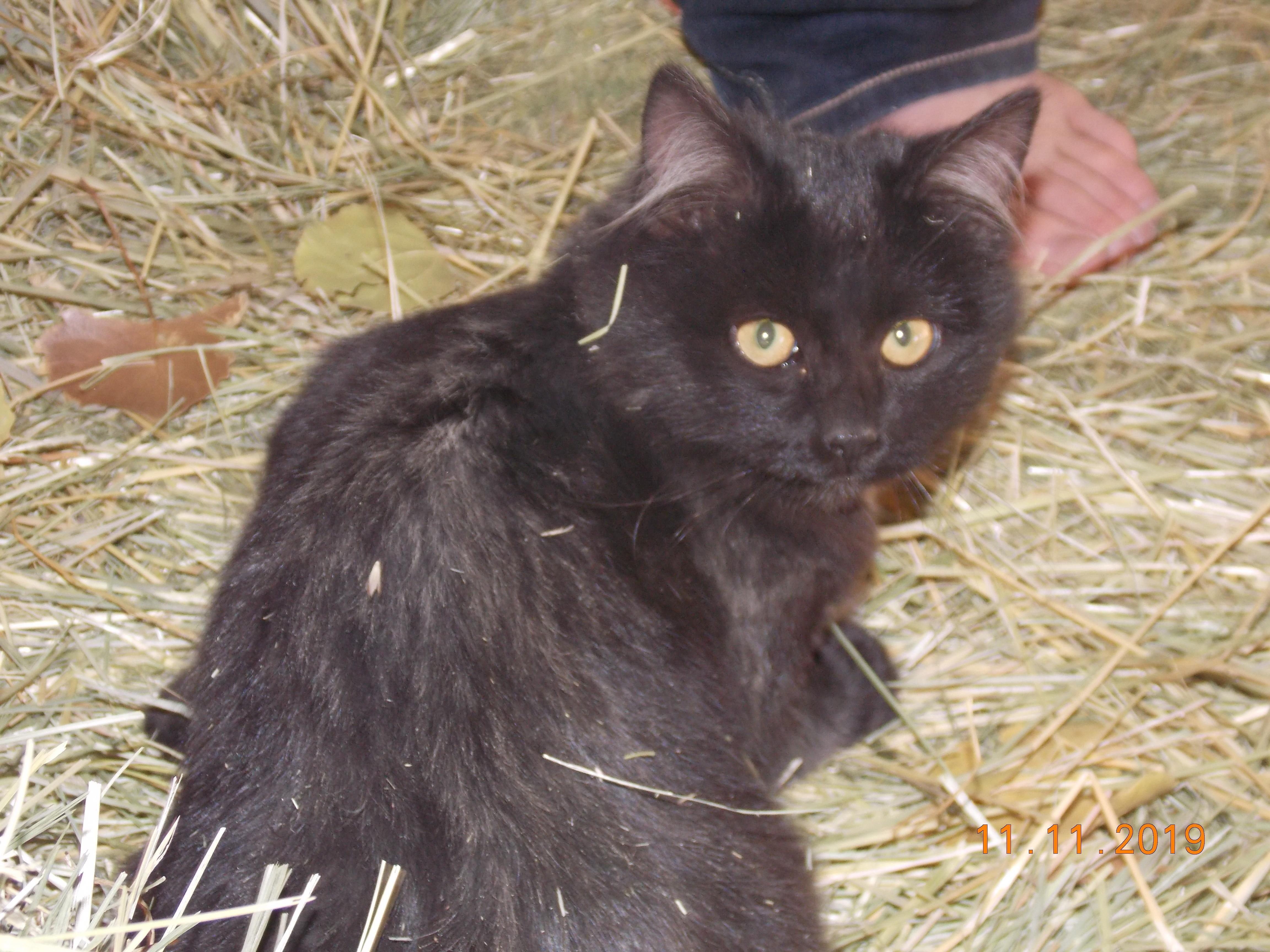 Black cat with brown eyes